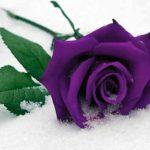 Mời tải hình nền hoa hồng động cực đẹp cho điện thoại