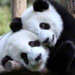 Hình ảnh gấu trúc Panda dễ thương và đáng yêu nhất