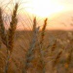 """""""Dịu dàng"""" bộ hình ảnh hoa cỏ lau mộc mạc giản dị trong gió"""