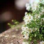 55+ Chùm Thơ, Câu Thơ Về Cúc Họa Mi Hay Trong Mùa Đông Yêu Nhau