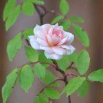 Thơ Về Hoa Hồng – Những Lời Thơ Ngắn Hay Viết Về Loài Hoa Hồng