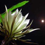 Thơ Hoa Quỳnh – Chùm Thơ Viết Về Hoa Quỳnh Hồng Nhan Bạc Mệnh